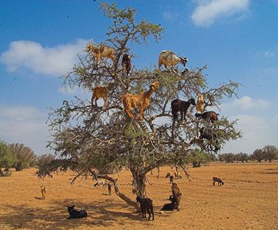 goatsintrees.jpg